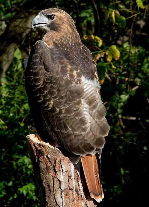 Red Tailed Hawk Ci Birds Csu Channel Islands