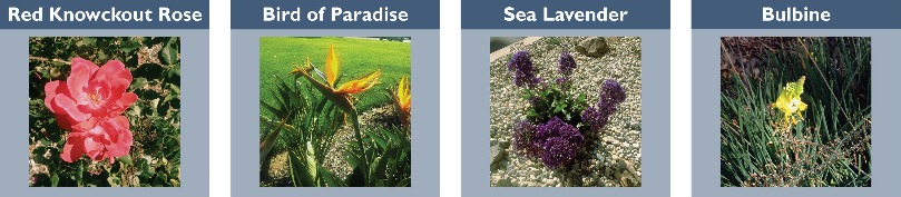 red knockout rose, bird of paradise, sea lavender, bulbine