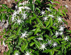 Star jasmine facilities services fs csu channel islands white star shaped flowers that give off a pleasant fragrance these flowers bloom in the evening from early spring to late summer mightylinksfo