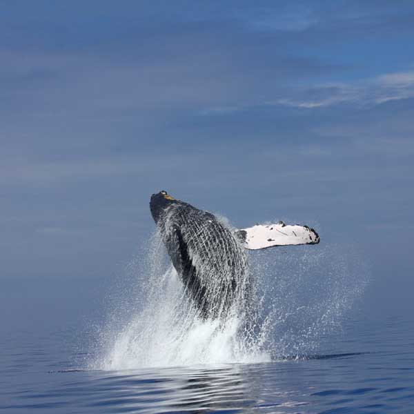 A whale breaching out of the water
